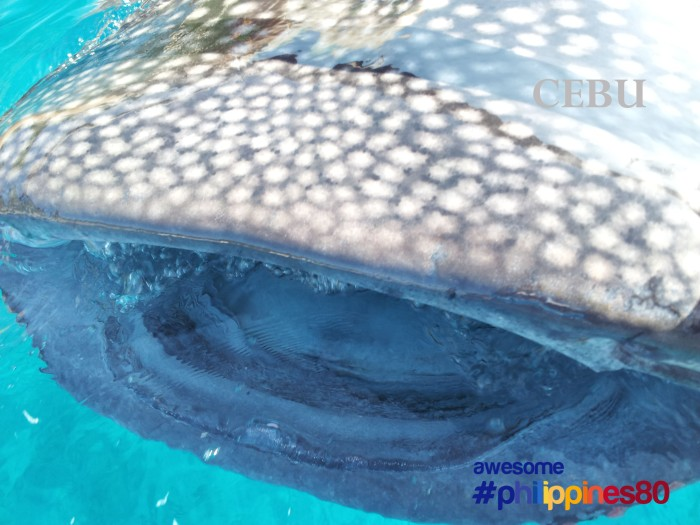 Cebu | Whale Shark Watching in Oslob | Top Places To See In Cebu